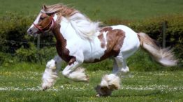 جفت گیری اسب های تزئینی