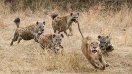حمله گله کفتارها به شیر