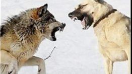 سگ که از گرگ قویترند