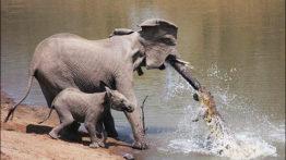 شکار فیل توسط کروکودیل