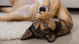 ویروس کرونا و حیوان خانگی