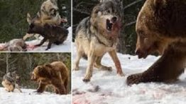 Battle of wolves and bears