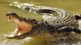 Gondo crocodile