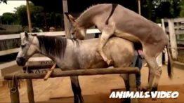 Mating donkeys and horses