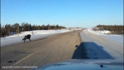 تعقیب چند گرگ توسط این راننده و اتفاقات ترسناک بعدی 18+