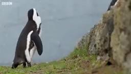تلاش سخت پنگوئن های نر برای جفت یابی – Penguin Find Mate