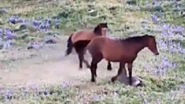 حمله اسب وحشی به شیر