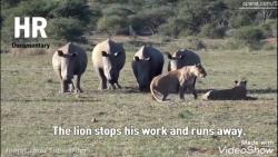 شیر ها در مقابل کرگدن ها