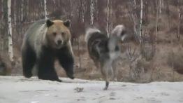 فیلم جنگ خونین خرس و سگ گرسنه