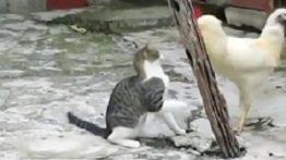 فیلم نبرد جالب گربه با خروس جنگی سفید