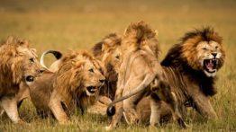 مستند شیرها در حیات وحش