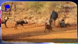 Conflict and psychological operations of wild dogs for hunting animals