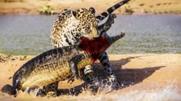 Crocodile hunting by Jaguar and spectacular moments of wild animal attack