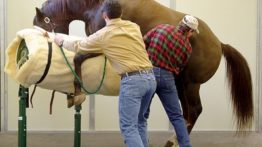 Horse sperm-breeding and horse mating and horse breeding (artificial fertilization)