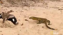Lizard war with the bird