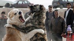 Sarabi Dog War Movie