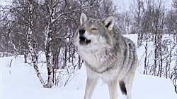 Sneaky Arctic Fox
