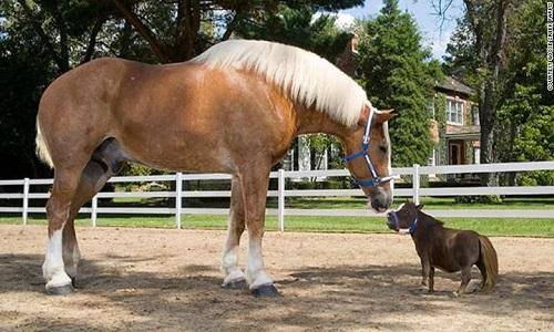 بزرگترین و کوچکترین اسب های دنیا +تصاویر