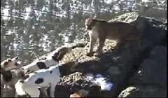 جنگ و نبرد سگ شکاری با شیر کوهی