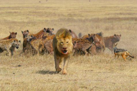 حمله ناکام کفتار به گله شیرها