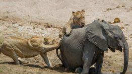 حمله و شـکار سهمــگین حیوانات درنده به فیل ها