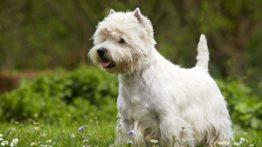 زایمان طبیعی سگ تریر