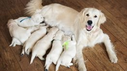 زایمان و نکات آن در سگ ها