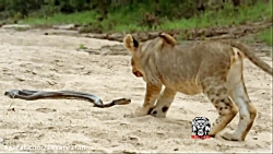 شکارهای وحشیانه و تماشایی حیوانات توسط درندگان افریقا