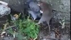 شکار باور نکردنی کبوتر توسط موش