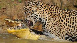 شکار تمساح توسط شیر