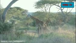 شکار حیوانات توسط شیرها