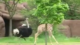 فیلم خفن از حمله شترمرغ غول پیکر به زرافه