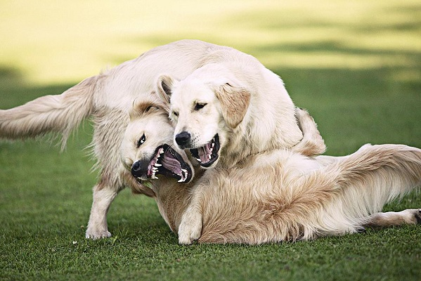 Dogs fight (5)