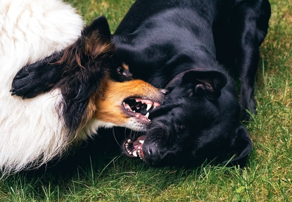 Dogs fight (6)