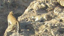جفت پلنگ ایرانی در فصل جفتگیری