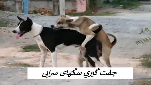 جفت گیری سگ سرابی و جنگ سگهای سرابی