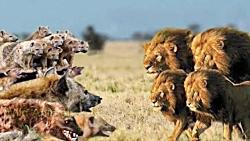 حیات وحش، تقابل شیر ، کفتار و سگ های وحشی