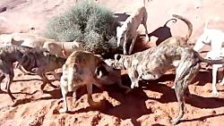 دریدن وحشیانه گرگ زخمی تنها توسط سگ های وحشی شکاری
