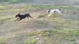 رقص قبل از جفت گیری سگ پوینتر