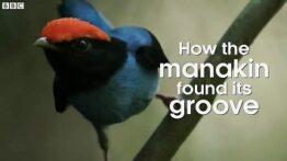 رقص پرندگان ماناکین برای جفت گیری