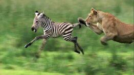 شکار کردن حیوانات وحشی
