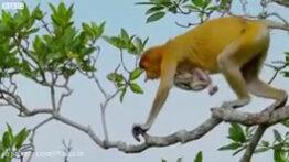 شیرجه میمون ها در رودخانه کروکودیل ها