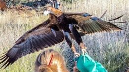 صحنه های شگفت انگیز حمله عقاب به انسان و حیوانات