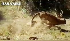 فیلم شکار حیوانات – حیوانات وحشی – جنگ و نبرد حیوانات