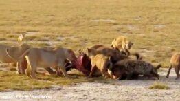مبارزه خونین و نابرابر شیرها و کفتارها در حیات وحش