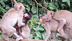 مستند حیوانات_جفتگیری میمون ها