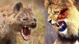 Lion-and-hyena-war-e1577446188300
