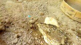 باورنکردنی پرنده ای که زیر خاک تخم گذاری میکند و از زیر خاک بیرون می اید