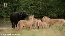 ترس عجیب گله ی شیر ها از یک بوفالو
