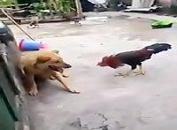 جنگ باور نکردنی خروس و سگ